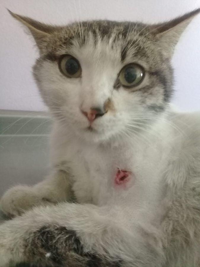Кот с пулевым ранением