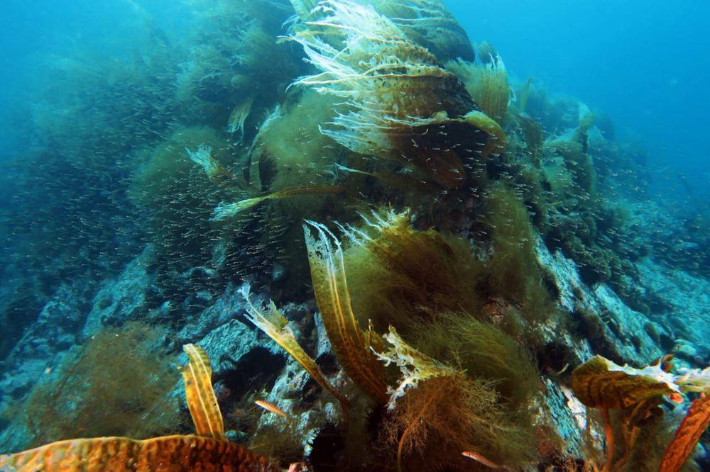 Одних только водорослей в Японском море 225 видов