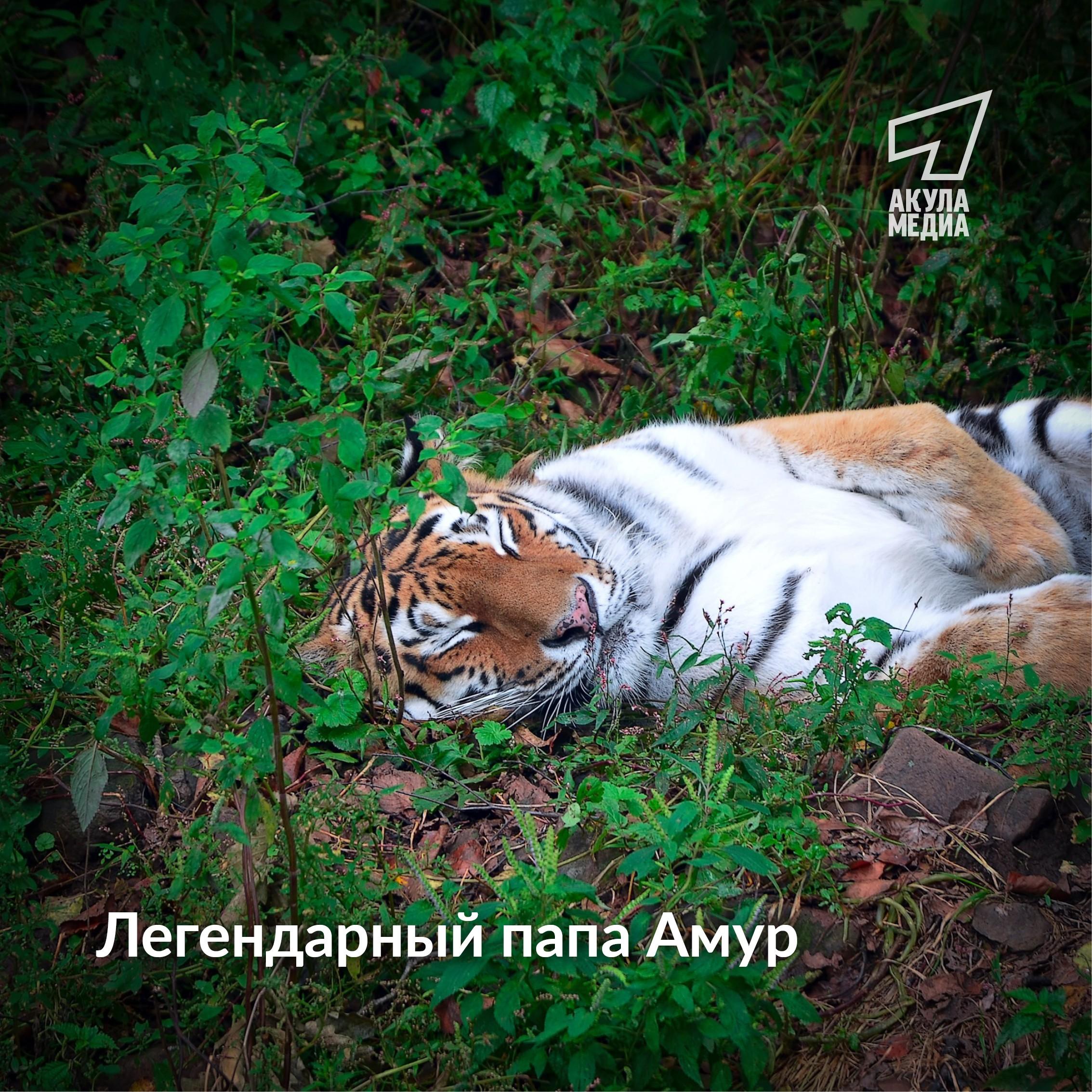 Знаменитый тигр Амур во второй раз стал папой!